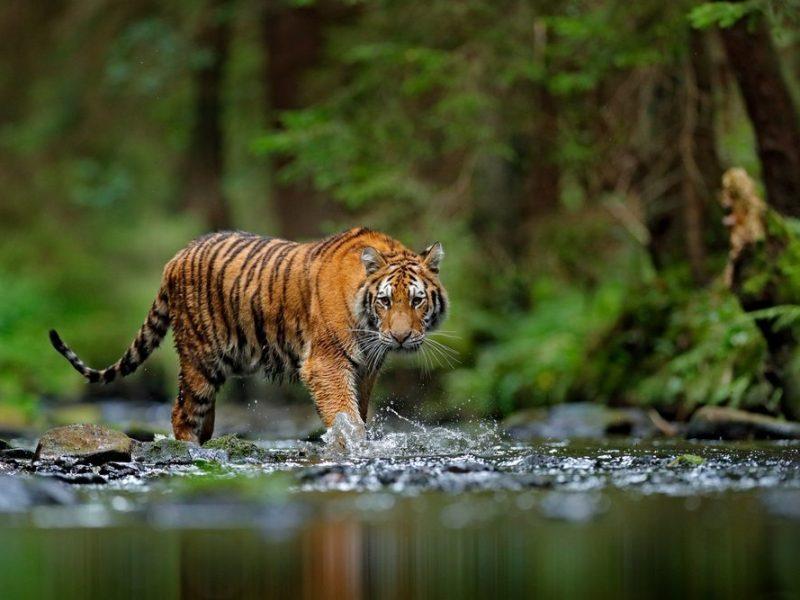 Er zijn veel verschillende tijgers te vinden op de wereld, maar er zijn ook uitgestorven soorten, welke zijn dat precies?