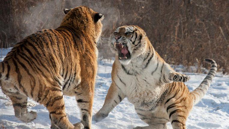 De tijger is nog steeds een bedreigde diersoort, maar wat kan daar allemaal aan veranderd worden in de komende jaren?